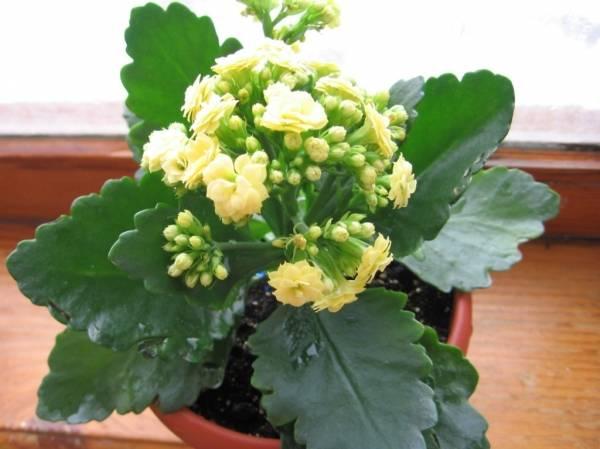 Каланхоэ перистое (29 фото): уход в домашних условиях, цветение и обрезка, каланхоэ перистое с зелеными цветами