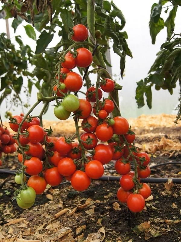 Характеристика и описание сорта томата кибо, его урожайность