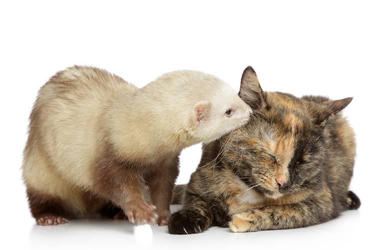 Дружат ли хорек и кошка - мыдачники