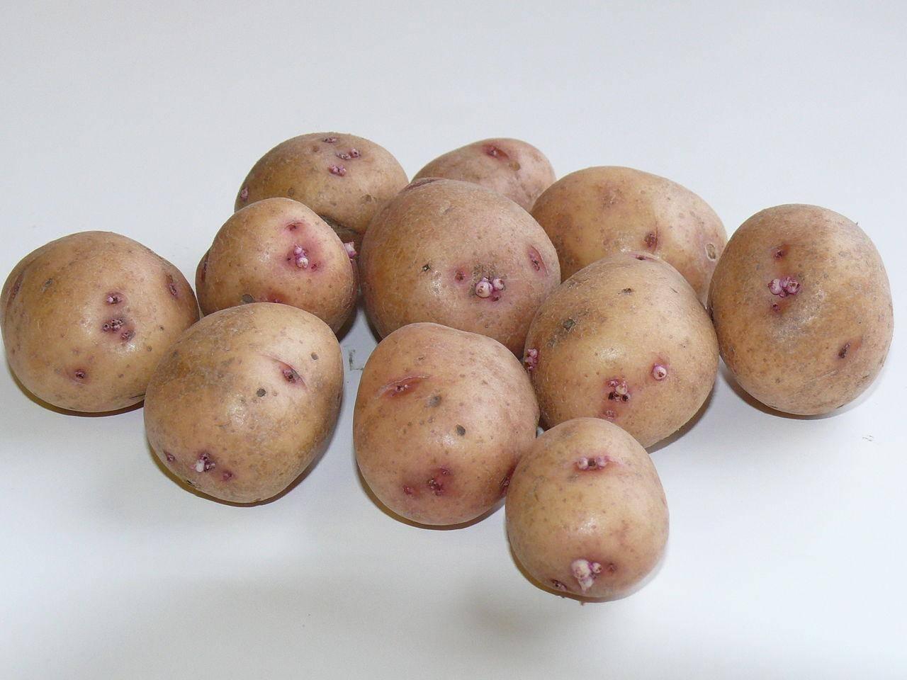 Сорт картофеля «уладар» – описание и фото