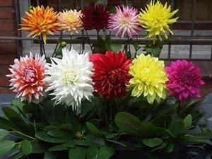 Георгины из семян (23 фото): когда нужно сеять однолетние георгины на рассаду? подробная инструкция по выращиванию