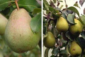 Груша дуля: описание сорта, фото. посадка и выращивание