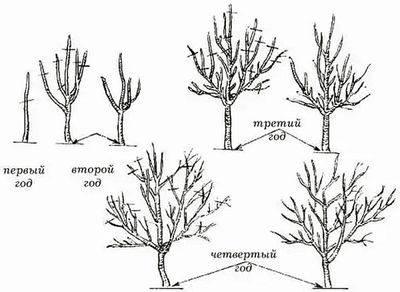 Обрезка грецкого ореха: нужно ли и как, сроки, правила, схемы формирования кроны
