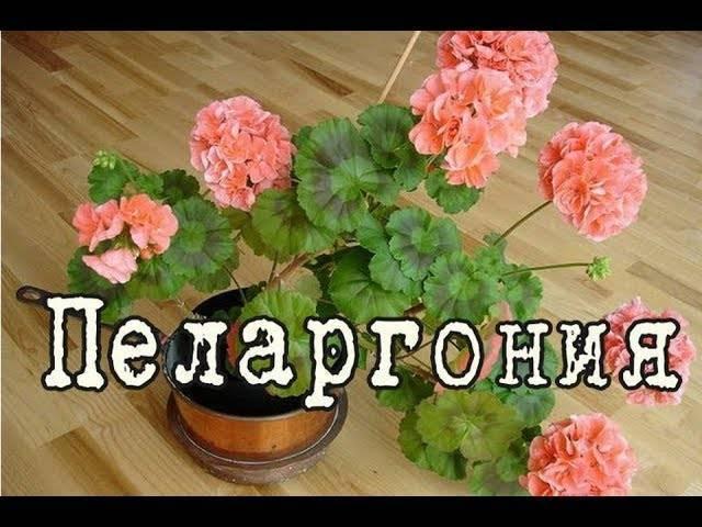 Королевская герань (60 фото): особенности ухода в домашних условиях, сорта пеларгонии с названиями, нюансы размножения черенками