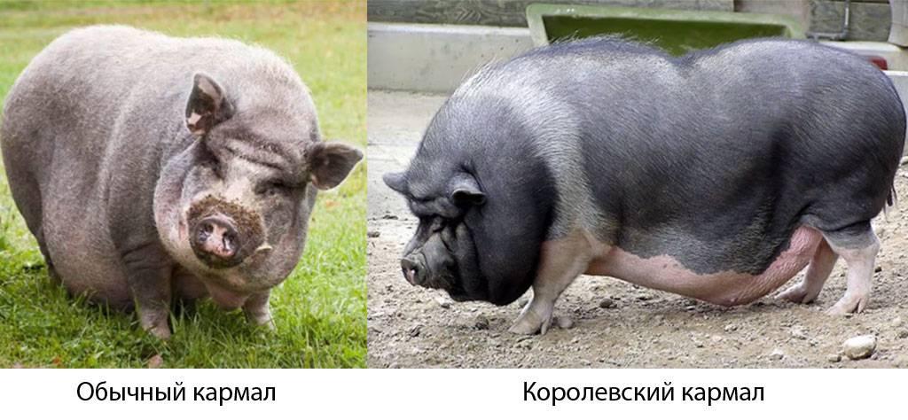 Порода свиней кармалы: характеристика, описание, фото
