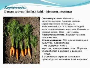 Какой тип корневой системы у моркови - выращивание из семян!