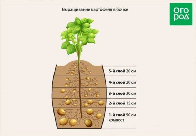 Посадка картофеля по методу митлайдера: метод выращивания, преимущества