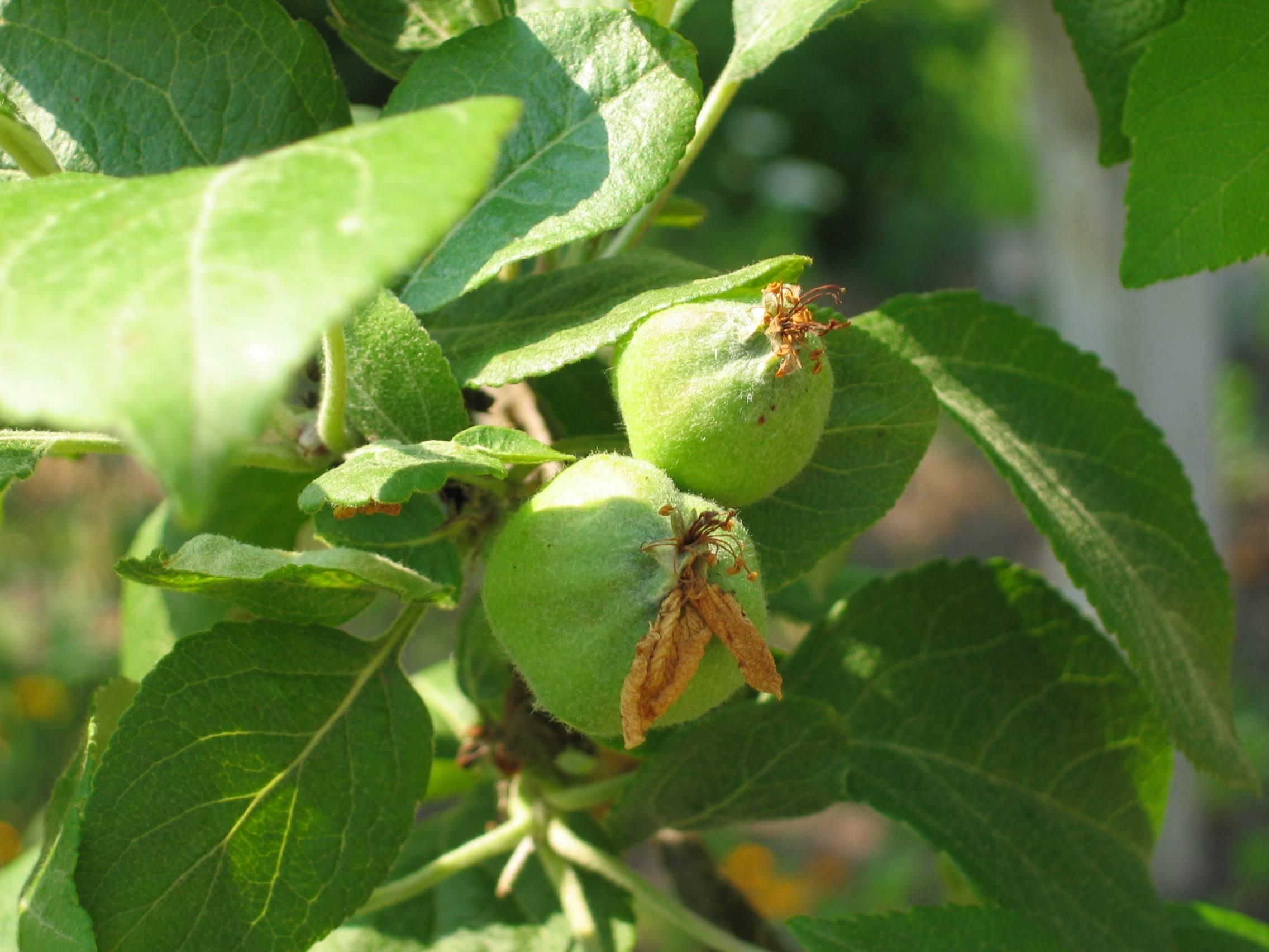 Подкармливаем яблоню после цветения