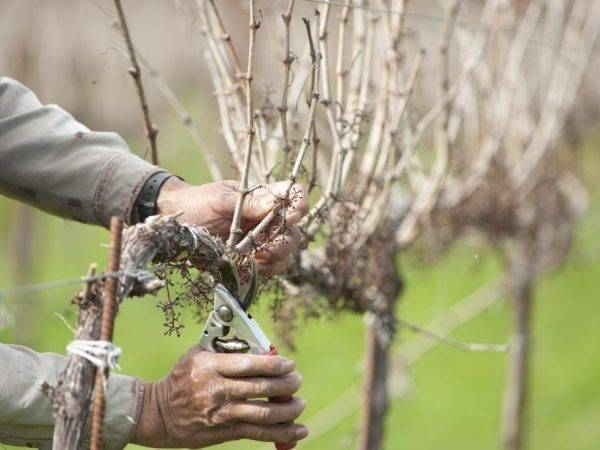 Обрезка винограда в средней полосе