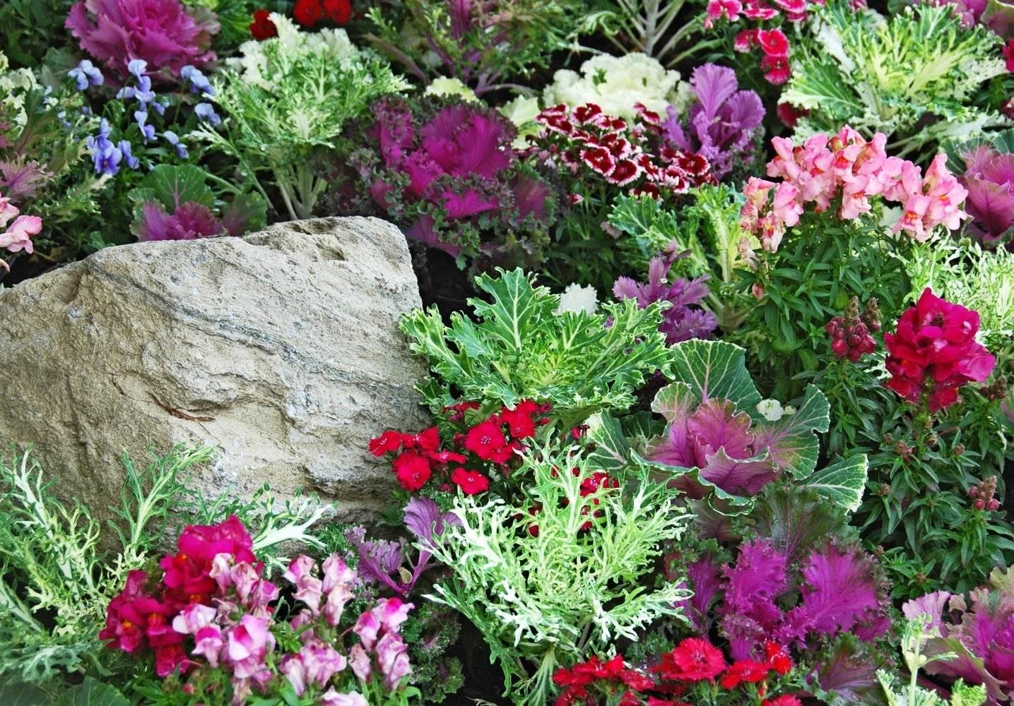 Декоративная капуста сорта с фото и названиями выращивание из семян посадка и уход