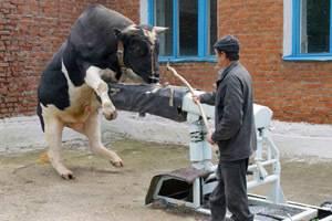 Особенности содержания племенных быков-производителей