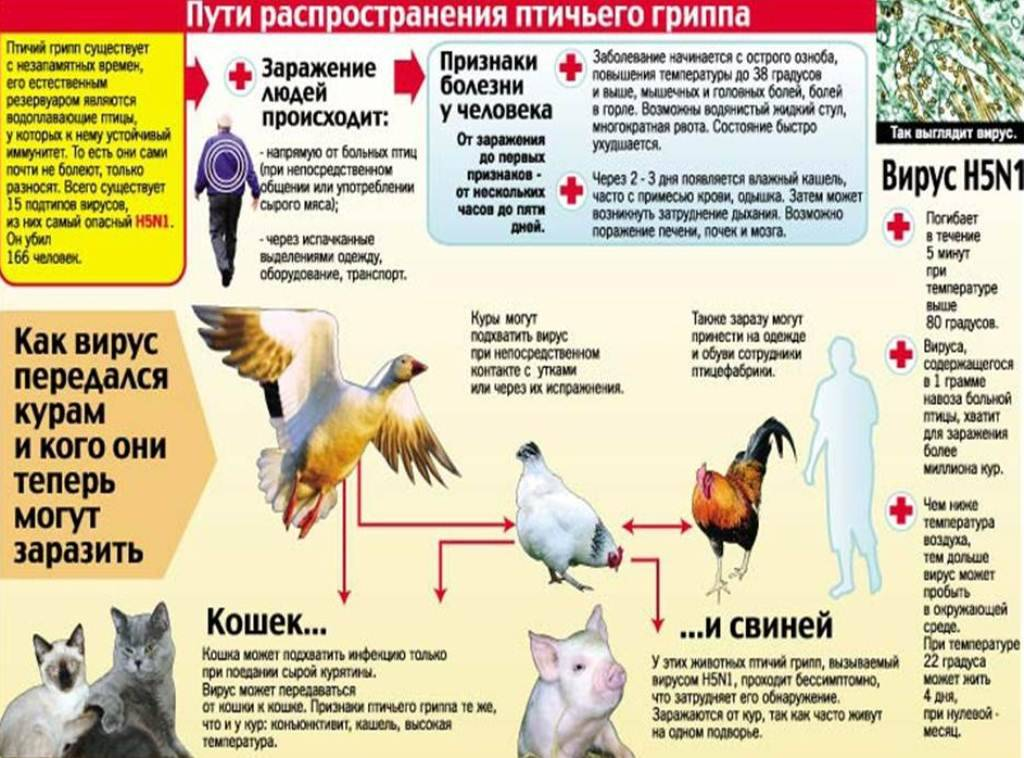 Вирусная война. как омский регион борется с птичьим гриппом