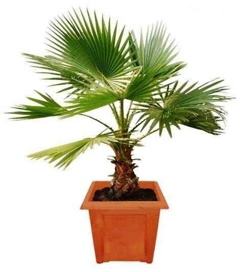 Декоративные пальмы для дома: разновидности, фото и названия - sadovnikam.ru
