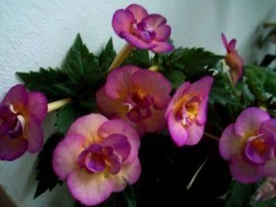 Ахименес — пышное цветение при минимальном уходе