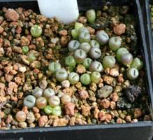 Советы по выращиванию литопсов из семян. хранение, подготовка, посадка и уход за живыми камнями