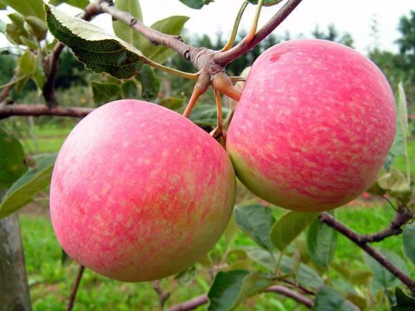 Яблоки грушовка: фото и описание московского сорта, характеристика зимнего и раннего вида, отзывы огородников, а также могут ли данные плоды иметь жёлтый окрас?