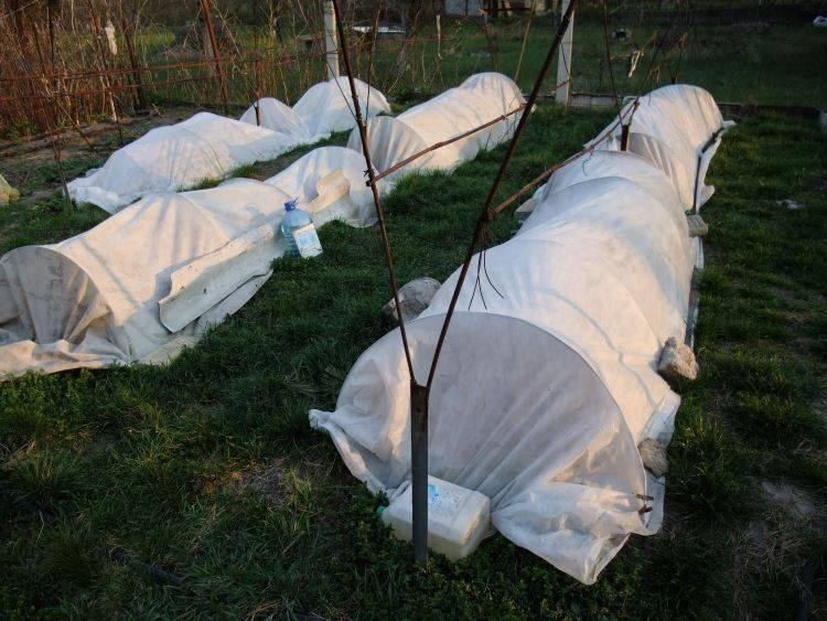 Когда и как укрывать виноград осенью на зиму: чем утеплить - способы и материалы