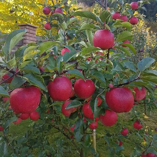 Сорт яблони дружное: плоды не могут расстаться