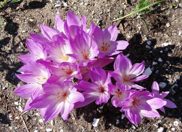 Безвременник: 50 фото, ? виды и сорта, посадка и уход за цветком