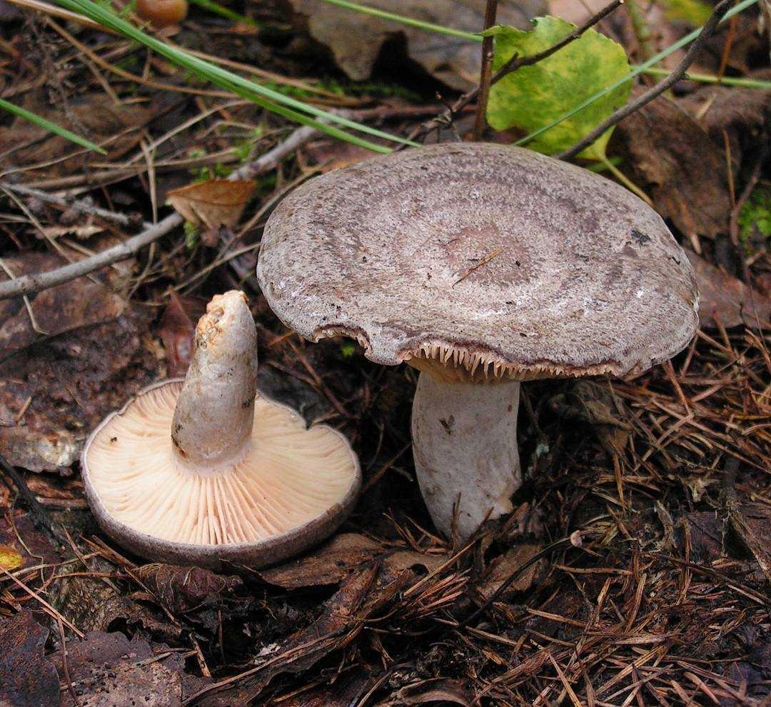 ✅ гриб серушка, фото и описание. грибы путики: съедобные или ядовитые - tehnoyug.com