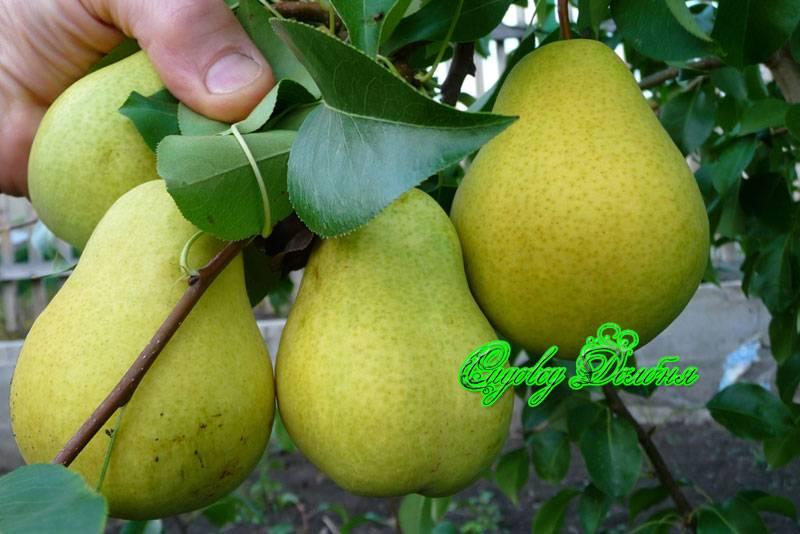 Выращивание груши свердловчанка: описание, фото, отзывы