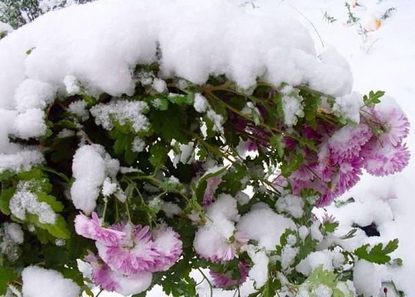 Шаровидные хризантемы, как сохранить зимой прекрасный цветок?