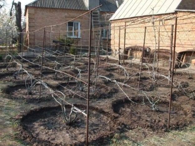 Подкормка винограда осенью: лучшие осенние удобрения, сроки поливки, как правильно удобрять виноград (навозом, золой и другими подкормками)