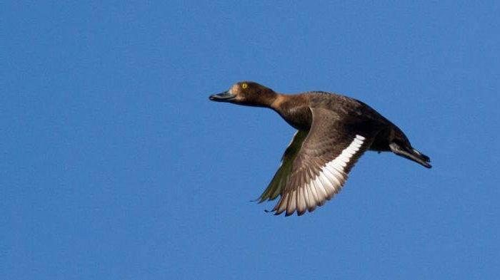 Утка-нырок: виды, характеристика и описание птицы