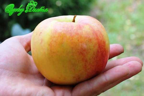 Яблоня летнее нежное — описание морозостойкой полукультурки