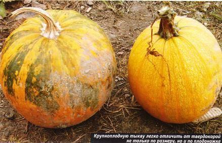 Как отличить рассаду кабачков от тыквы - садоводству да