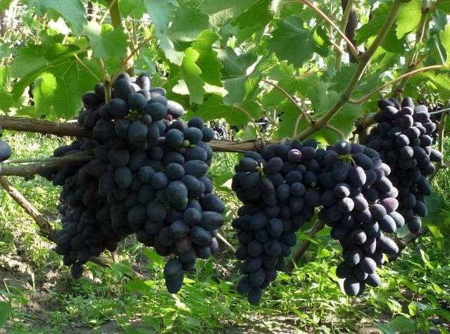 Виноград кодрянка: описание сорта и сроки созревания