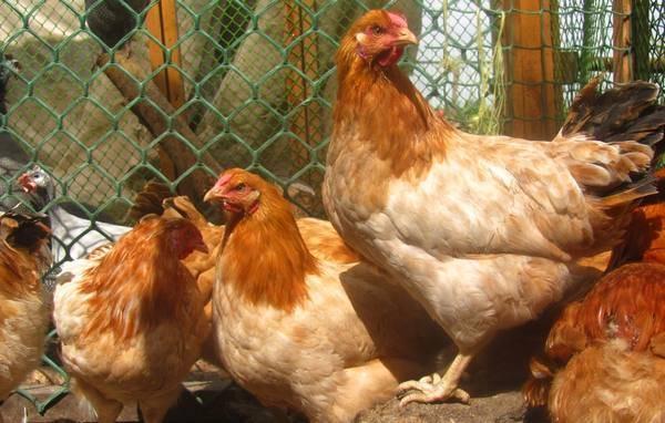 Мясо-яичные породы кур – описание лучших, фото и видео