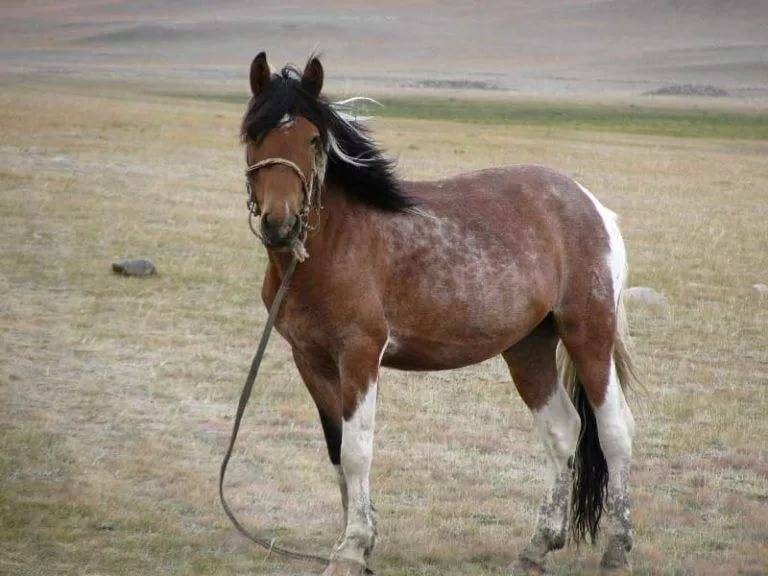 Монгольская лошадь: описание породы, характеристики, фото