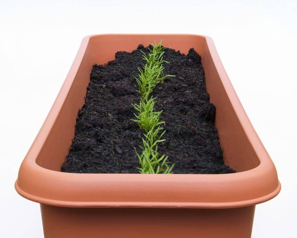 Правильная посадка моркови в открытый грунт весной и уход в последующем