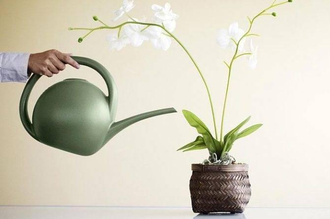 Узнайте, как часто поливать орхидею в домашних условиях