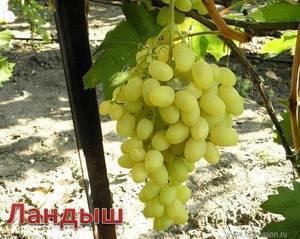 Виноград ландыш: описание и характеристики сорта, сроки созревания, урожайность