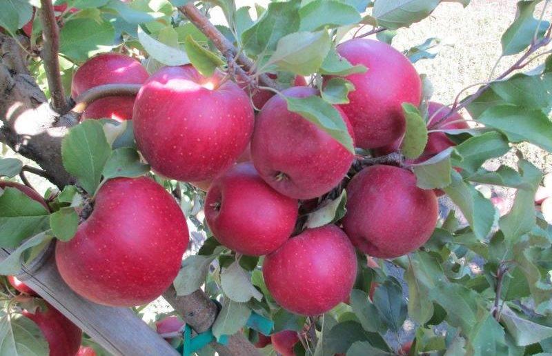 Описание сорта яблони подарок осени: фото яблок, важные характеристики, урожайность с дерева