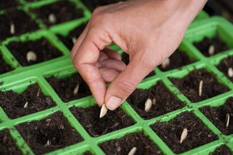 Как и когда высаживать рассаду кабачков в открытый грунт: сроки и схема посадки