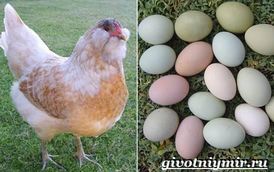 Курицы породы Араукана