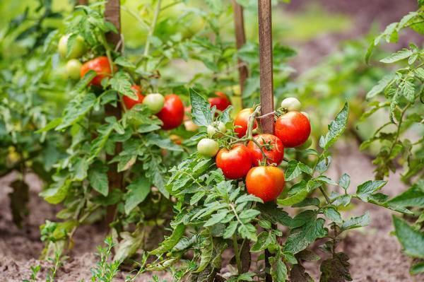 Септориоз: белая пятнистость листьев томатов, фото и лечение народными методами и средствами