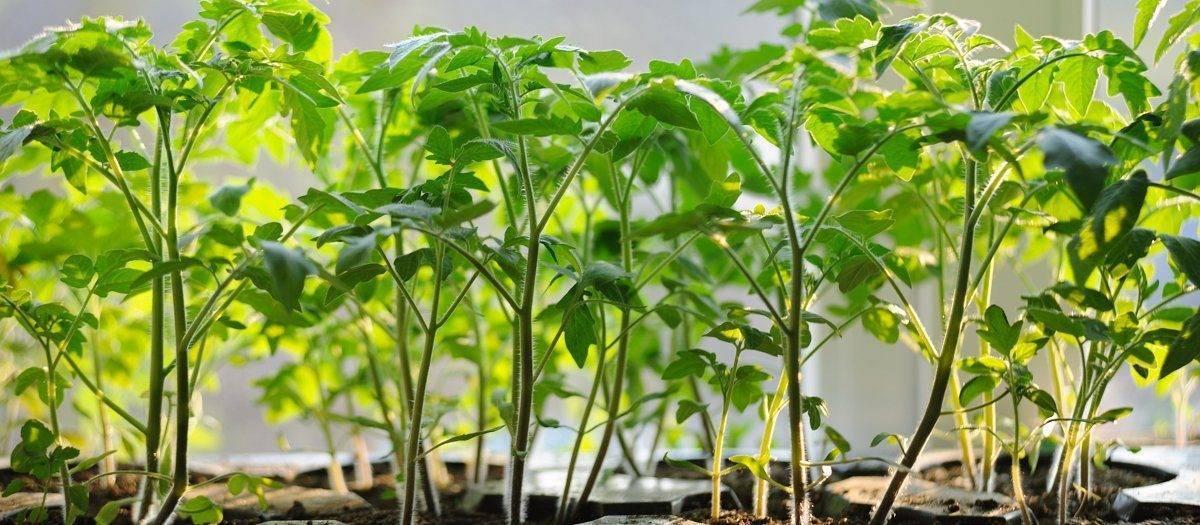 Как бороться с засохшими листьями на рассаде помидоров