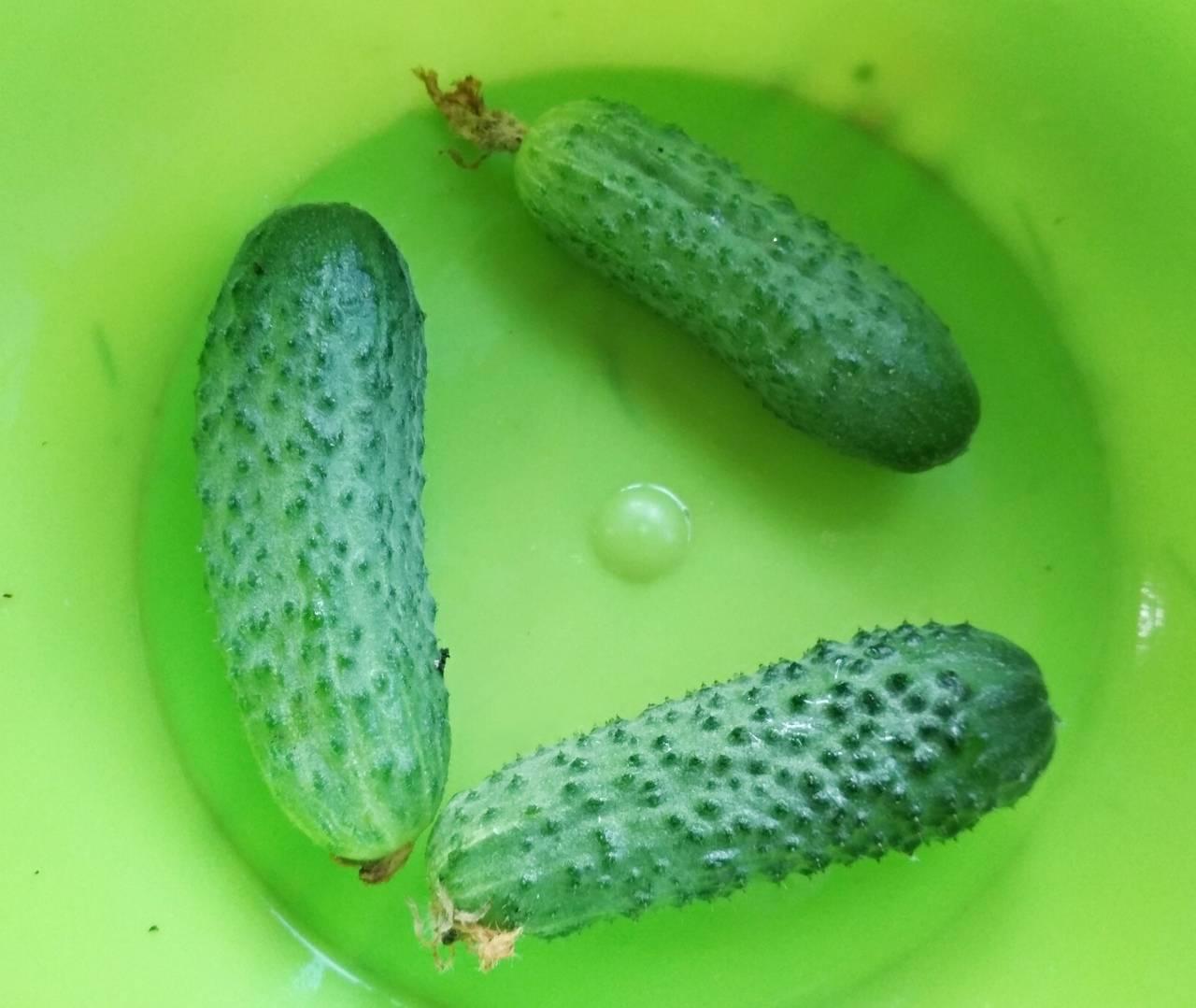 Огурец погребок f1: характеристика и описание сорта, фото, посадка и уход, отзывы о семенах гавриш