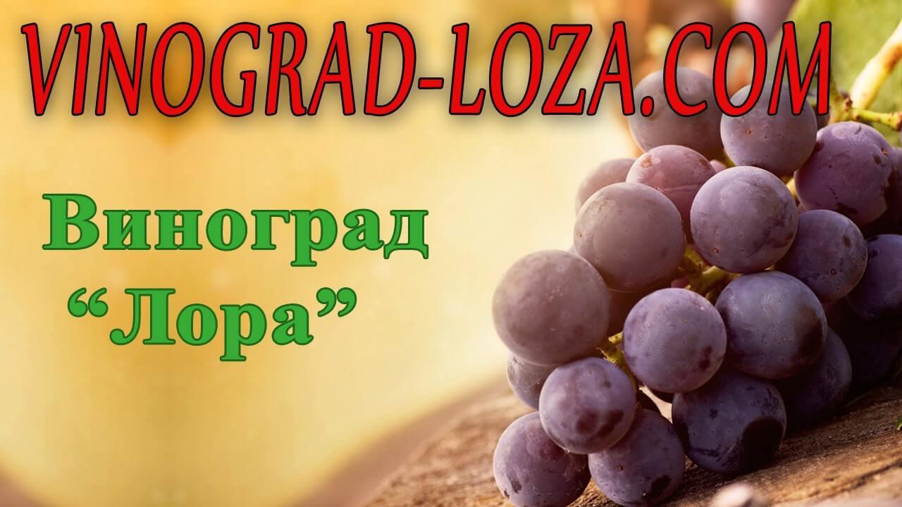 Описание сорта винограда «лора»: характеристики, особенности ухода и обзор отзывов