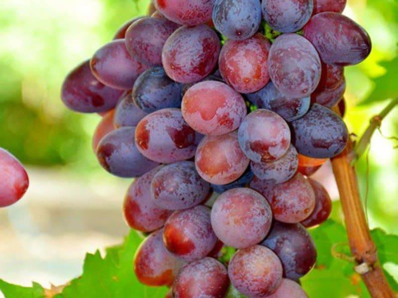 Описание сорта винограда виктория