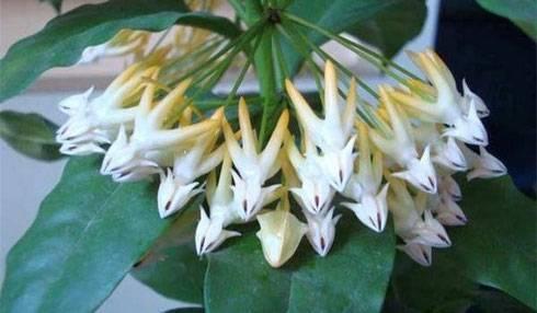 Хойя Белла Прекрасная — как выращивать цветок