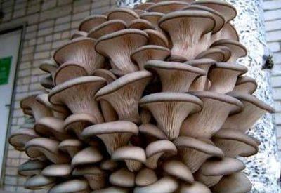 Выращивание мицелия вешенки в домашних условиях