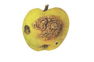 Плодожорка на яблоне – методы борьбы