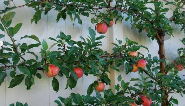 Яблоня заветное: описание сорта, фото, отзывы