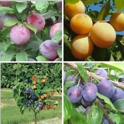 Слива волжская красавица – описание сорта, агротехника от посадки до урожая