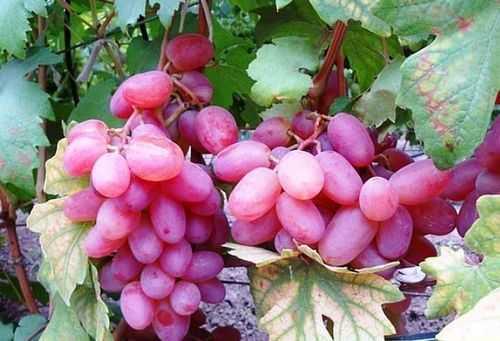Выращивание кинельского винограда